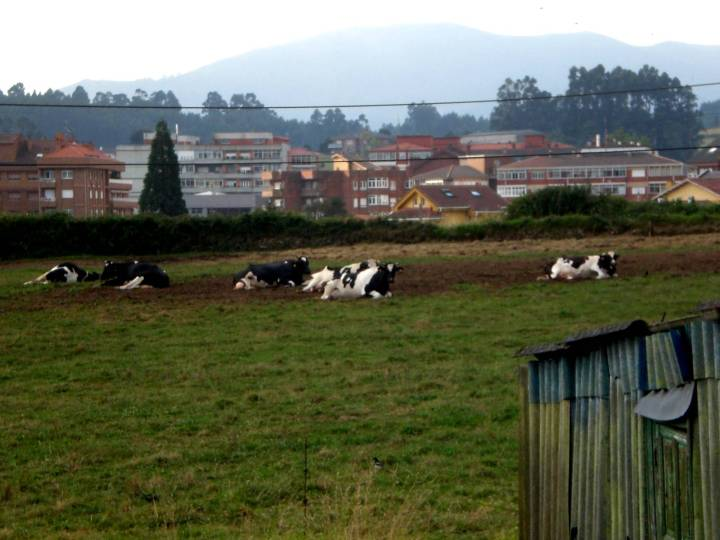 109-vacas-y-de-fondo-piedras