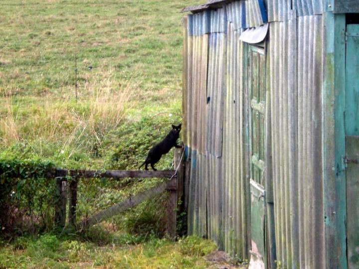 110-gato-negro